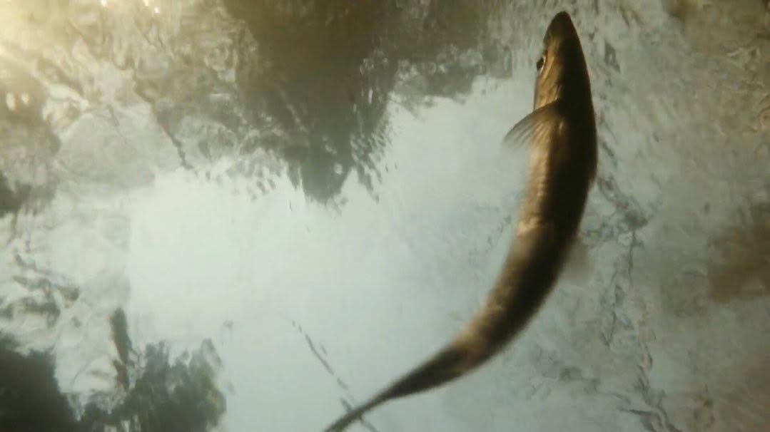 Hudson River herring