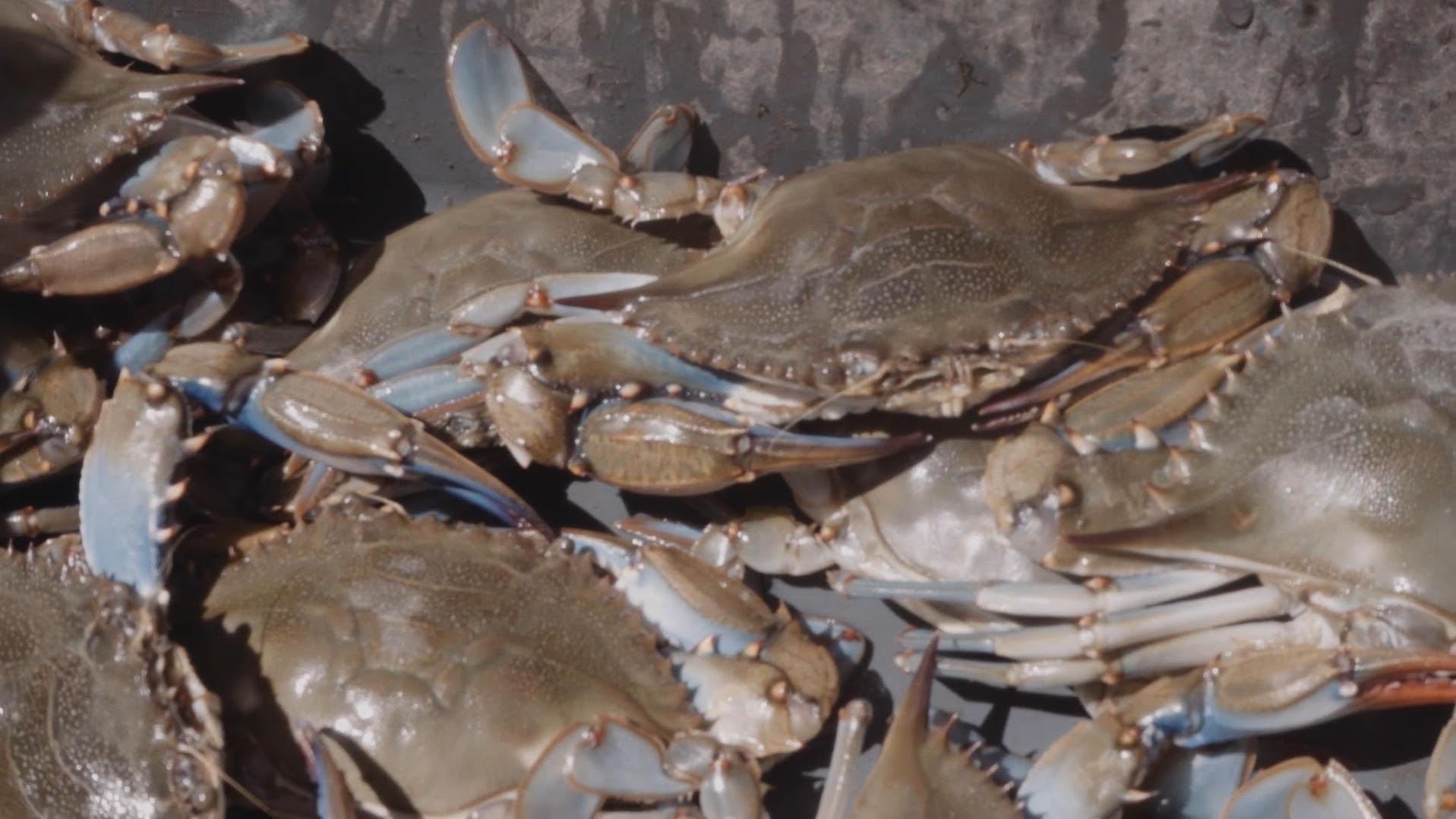 Hudson River blue crab