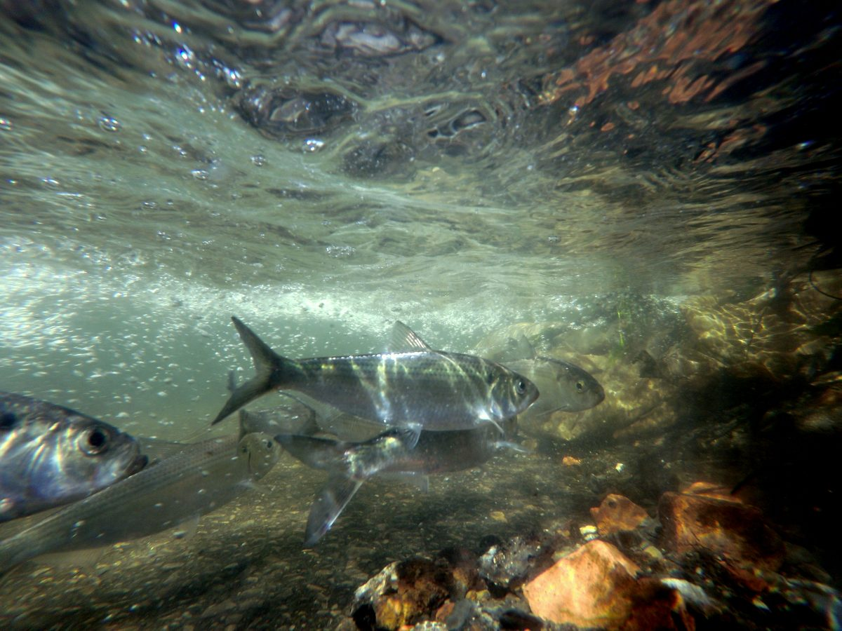 Dam removal, River Newsroom, herring