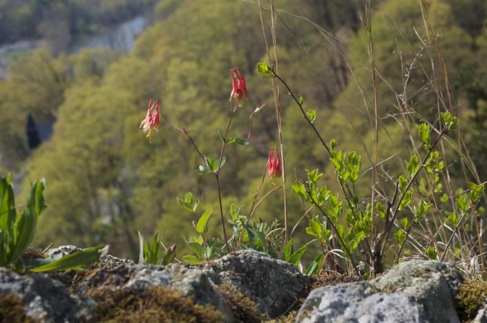 Red columbine flowers in Wilbur uplands
